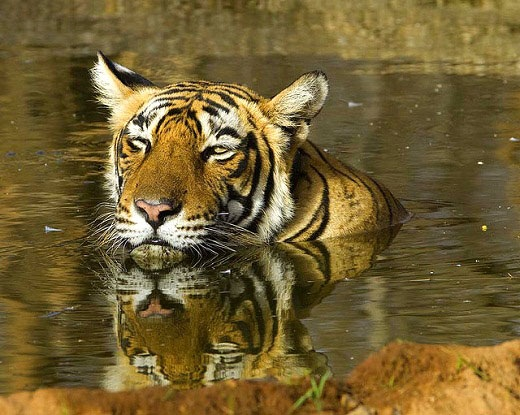 Swimming tiger in the Sariska Tiger Reserve