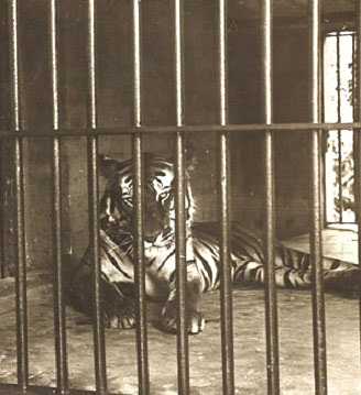 This was a tiger captured and kept in Calcutta Zoo after reputedly eating 200 people. Part of a stereoscopic image dating from 1903.