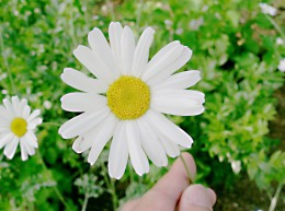Chrysanthemum cinerariifolium (the Dalmation chrysanthemum) is the main source of pyrethrin.