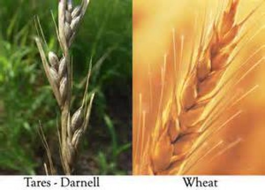 This photo is about the Tares and the wheat that relates to my article.