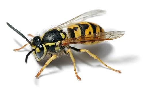European Wasp by Fir0002/Flagstaffotos.