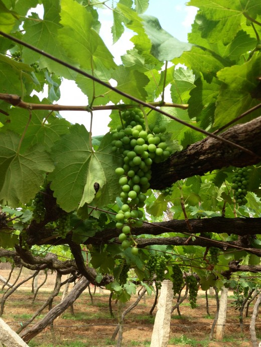 Wine Grapes Ready to be Harvested