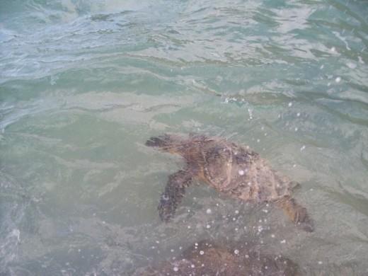 Sea Turtle at Eternity Beach