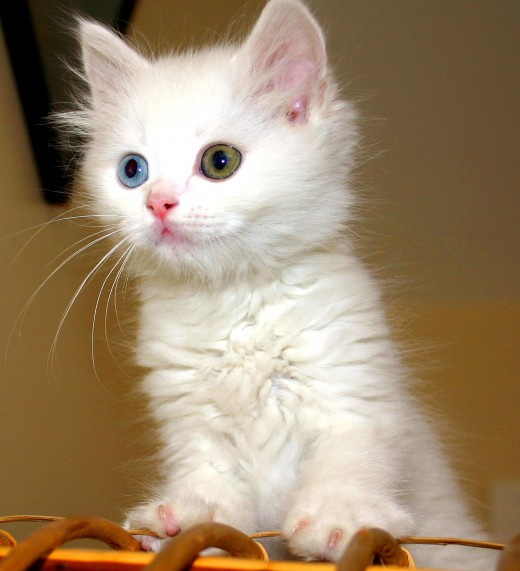 A Turkish Van cat.