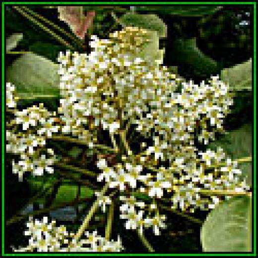 Kukui Blossoms