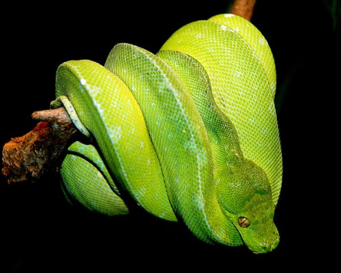 Green Tree Python.