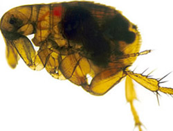 Here we have a blown up photo of a flea. Real fleas are smaller than the one in the photo.
