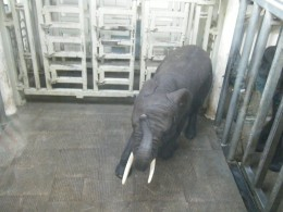 An elephant in a behavioral training session.