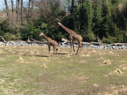 The female and juvenile giraffe