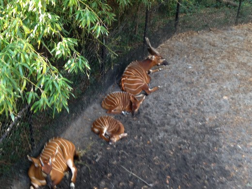 The bongo breeding program has been rather successful.