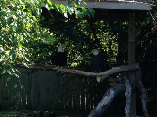 The zoo's two bald eagles.