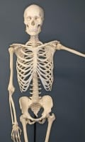 Interesting and Surprising Facts about the Human Skeleton