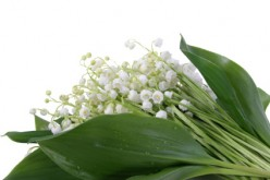 Finland Flower-Lily-of-the-Valley