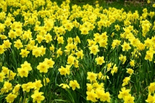 Daffodils in the garden are the first sign that Spring is on its way!
