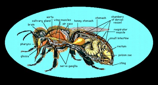 A very interesting view of the inside organs of a bee.