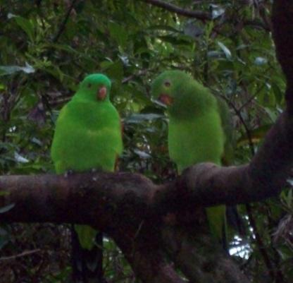 Green parrots, Melbourne Zoo.