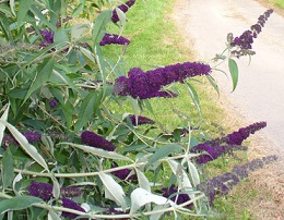 A flowering buddleia