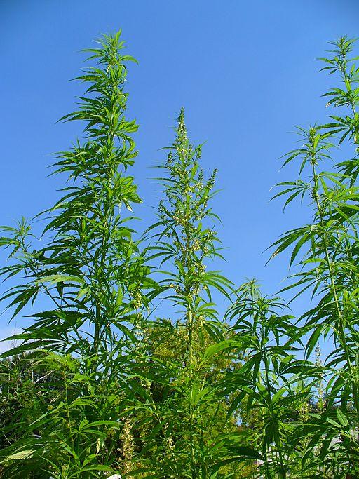 Marijuana plants in a field