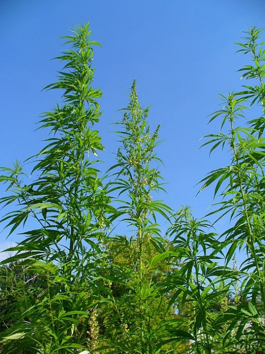 Marijuana plants in a field