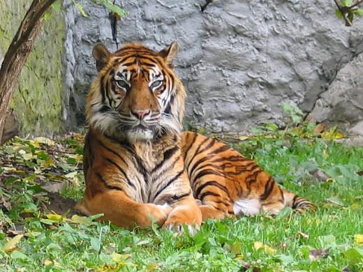 Sumatran tiger (P. t. sumatrae)