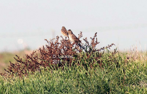 In 2011, savannah sparrows were some of the many birds I saw in my district, which was actually close to my home.