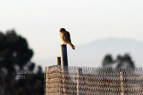 Kestrel on a fence during the 2011 bird count