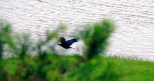 Crow flying over a low flooded area. Taken in 2008.