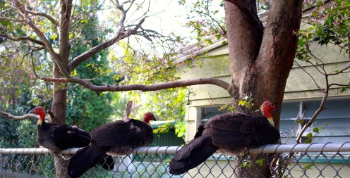 Wild Bush Turkeys