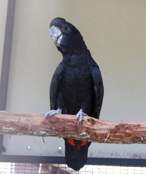 Black Cockatoo - Likes seeds, beetles, grubs..
