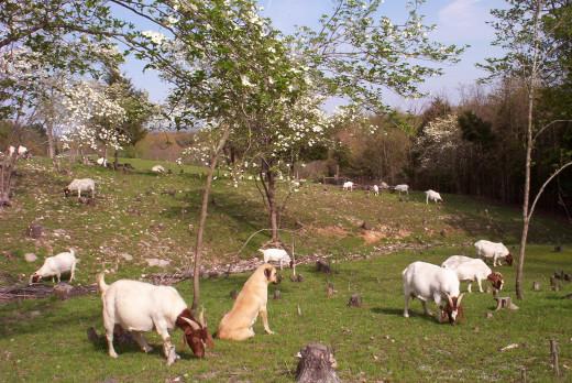 Anatolian Shepherd with Goats