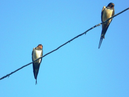Apart from the colouring the House Martin lacks the long tail streamers of the Barn Swallow