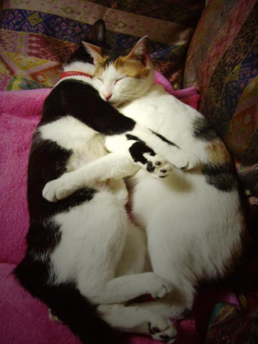 ragdoll munchkin kittens