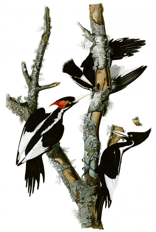 John James Audubon's Painting of Three Ivory-Billed Woodpeckers
