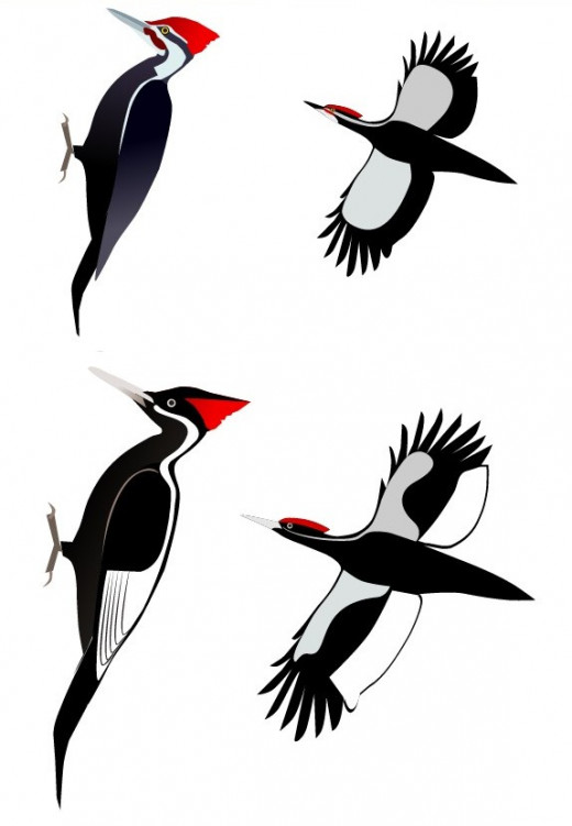 Pileated (Top) Versus Ivory-Billed Woodpecker (Bottom)