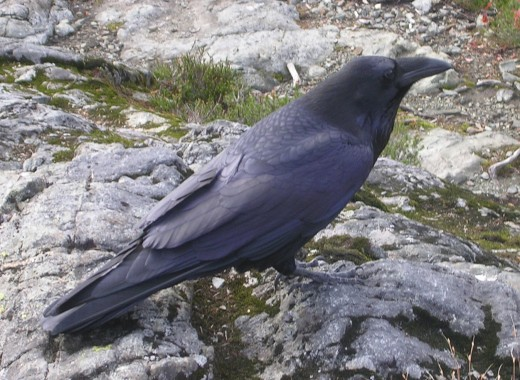A common raven in British Columbia