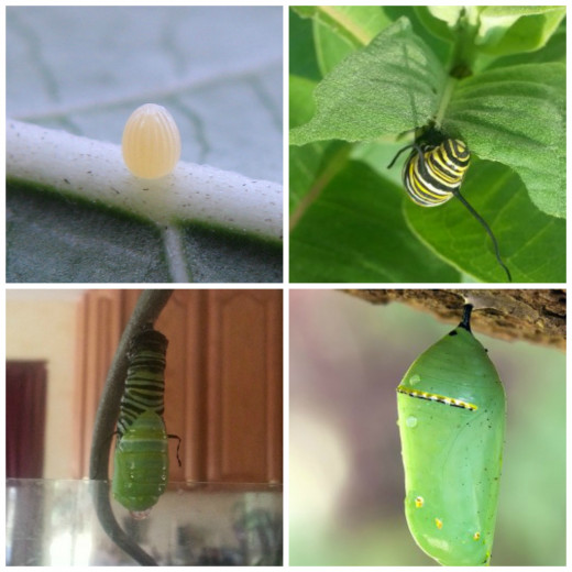 """""""Monarch egg lgbg"""" by Forehand.jay - Own work. Licensed under Creative Commons Attribution-Share Alike 3.0 via Wikimedia Commons - http://commons.wiki - Chrysalis photo wikemedia commons"""