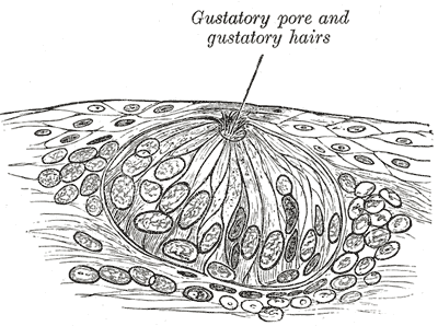 Taste bud - magnified (courtesy of Gray's Anatomy)