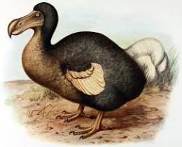 Extinct Dodo Bird In Mauritius