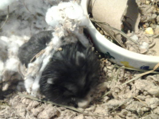 Chocolate Chip enjoys rolling around in her cotton nest and bedding while we clean his cage once a week.