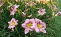 Daylilies for Every Garden