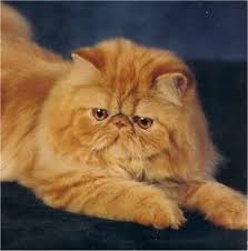 Long Haired Cats Need lots of Grooming