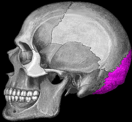 The purple area is the occipital.