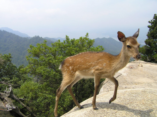 Deer on a Mountain