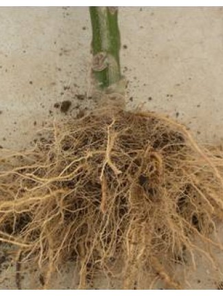 A cucurbits that has been grafted.  Notice the improved root system.