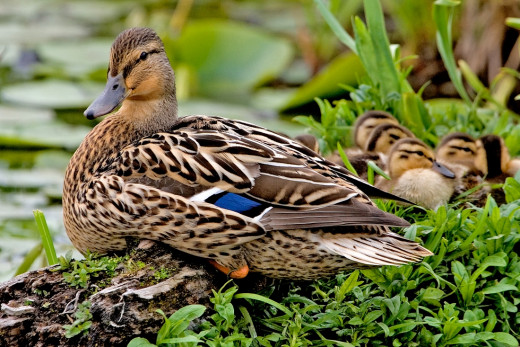 Beautiful female mallard with her chicks.  I hope my beautiful male duck friend found a companion.  Photo by Alan D. Wilson, 2006.  Used with permission.  Lyrics to I Wish You Love are from W. Houston's song.