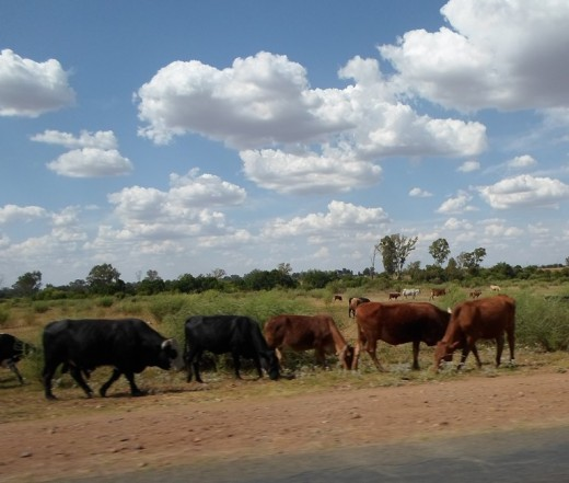 Between Klerksdorp and Orkney - cattle grazing right next to the road!