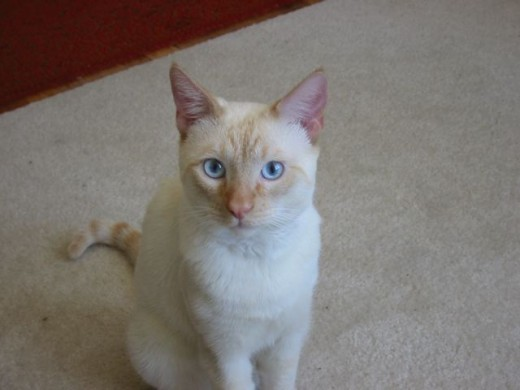 A Colorpoint Shorthair is a cousin to the Siamese.