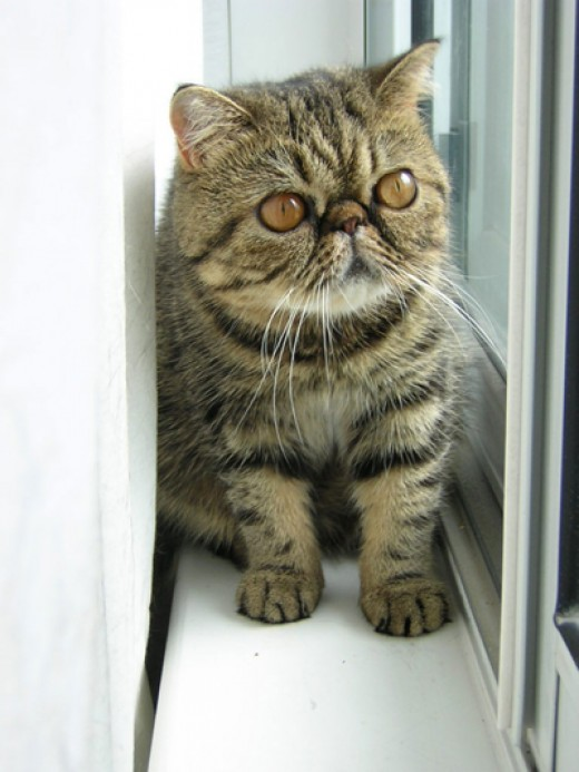 This Exotic kitten is a short-haired version of the Persian breed.