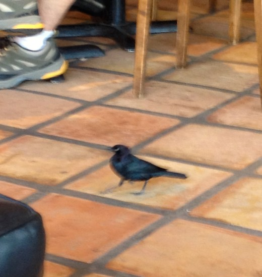 The baby crow that walked into Good Cup as I was writing.