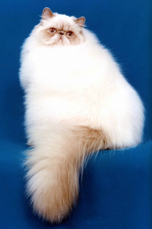 Himalayan cats are the result of breeding Siamese and Persian cats.